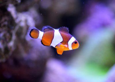 clownfish-1453910