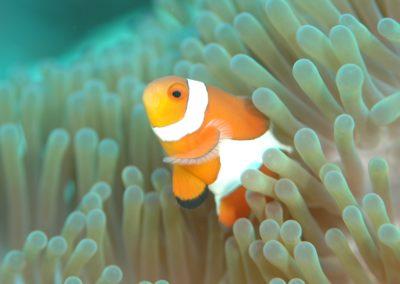 clownfish-560553